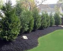 Leyland Cypress 1